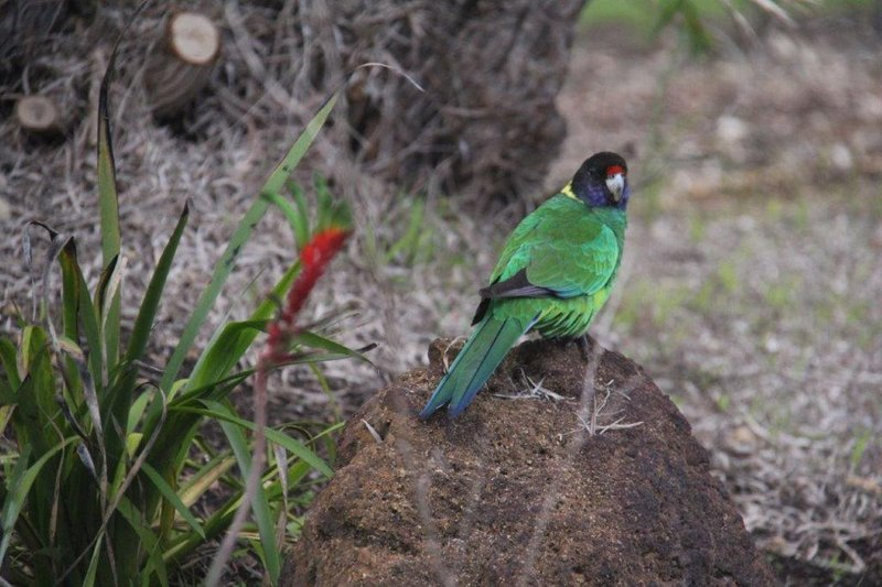 Australian Ringneck also known as 28 parakeet
