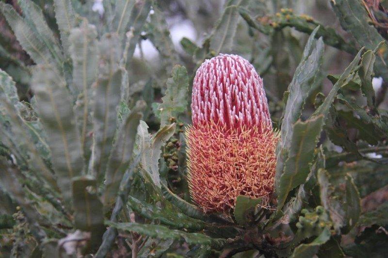 Beautifl Banksias flowering