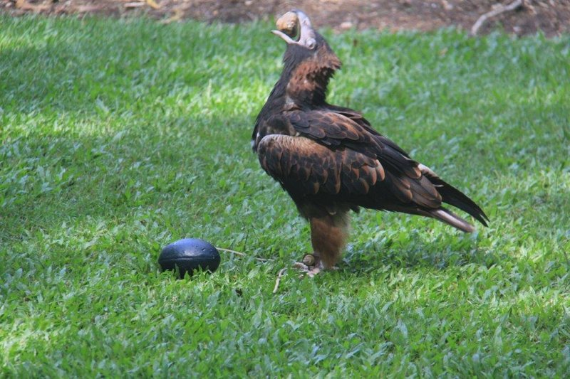 Black-breasted Buzzard breaking Emu egg with rock