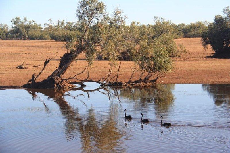 Black Swanson the De Grey River