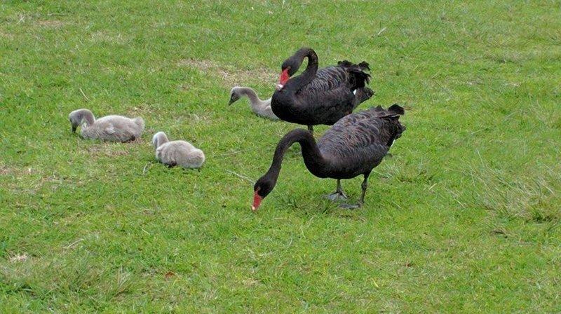 Black Swans in Floreat