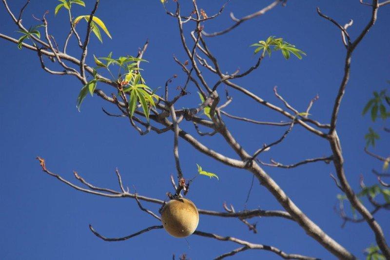 Boab seed is edible