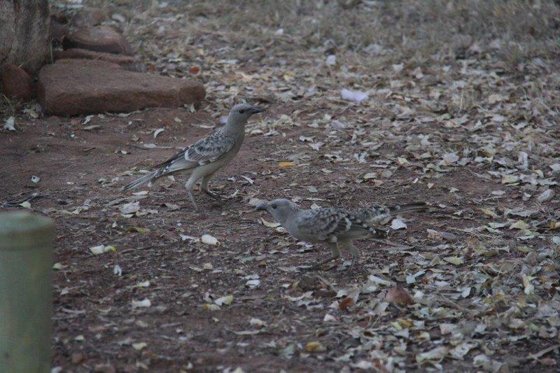 Bower bird impressing his girlfriend