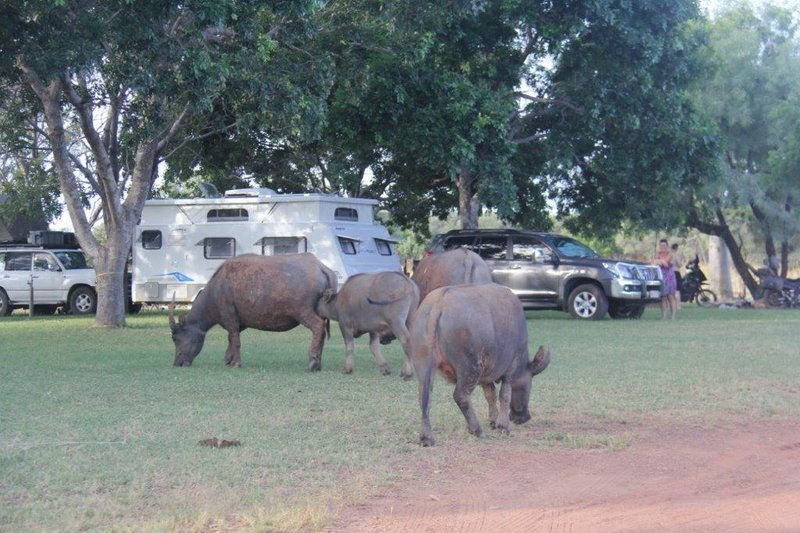 Buffalos visit our camping site