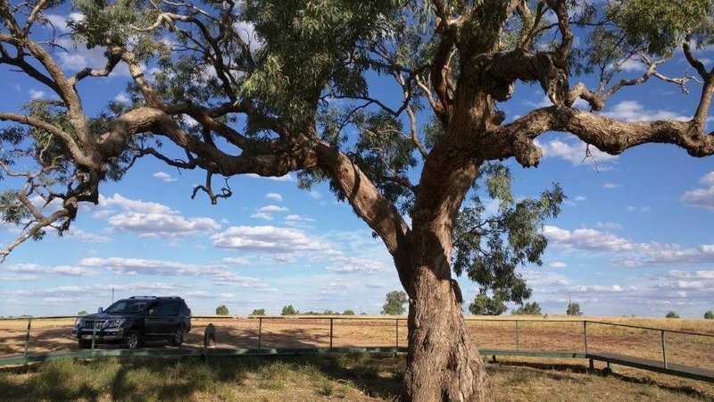 Coolibah tree marked to help Burke and Wills find help