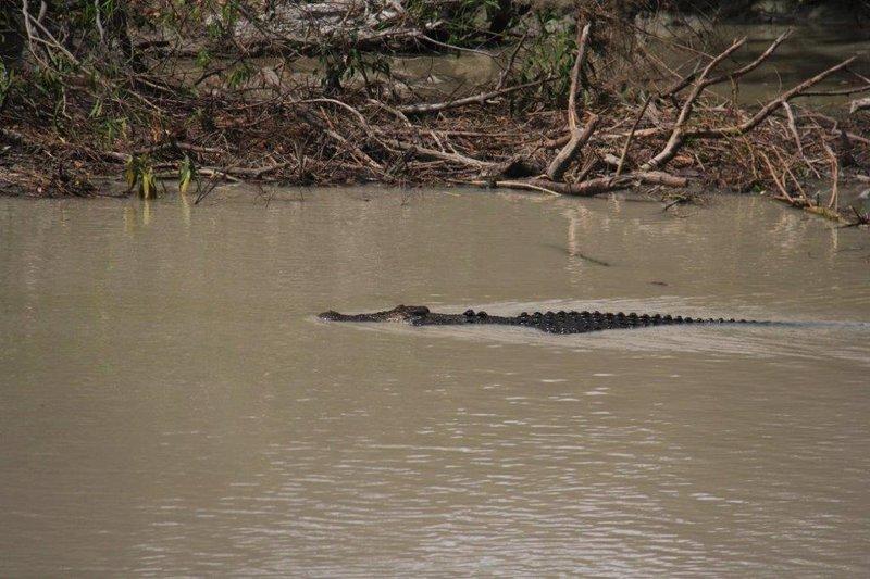 Croc speeding in to prey