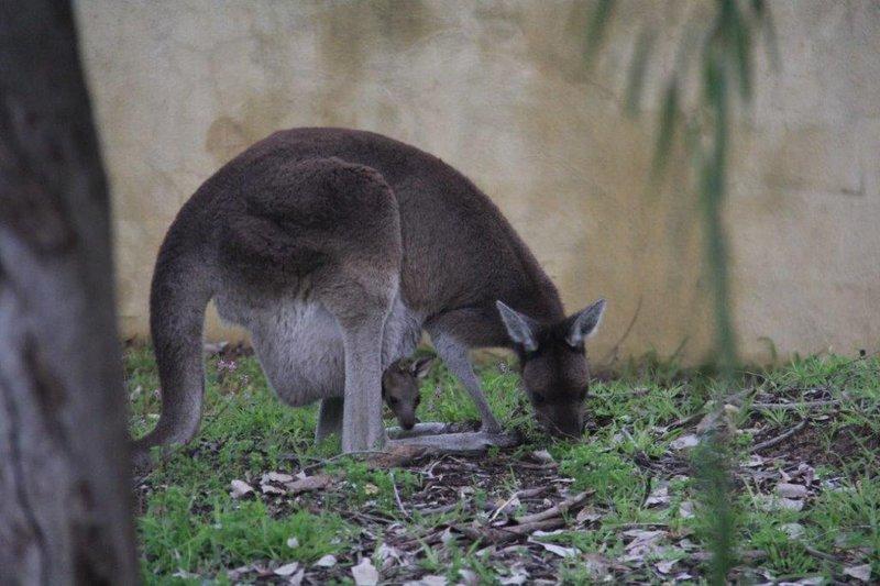 Eastern Grey Kangeroo with Joey