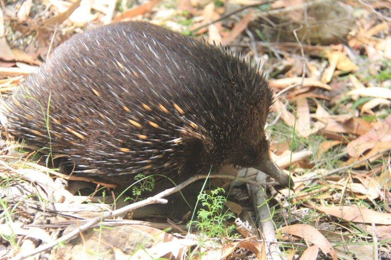 Echidna in broad daylight in the open