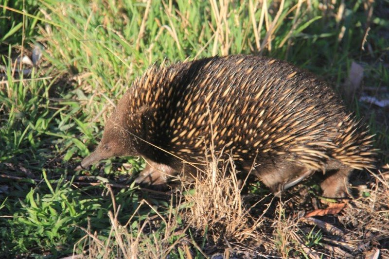 Echidna near our caravan see the back toe nail