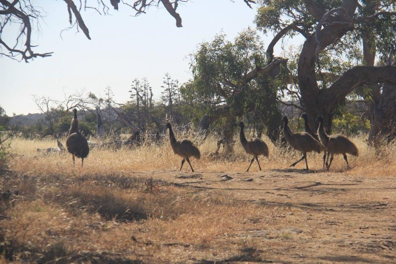 Emu with five young