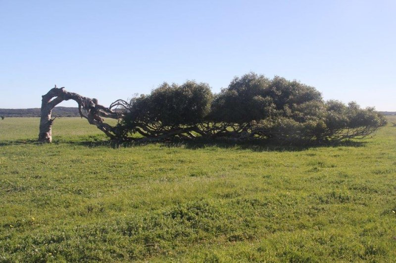 Famous River Gum in Grenough showing how windy it is here