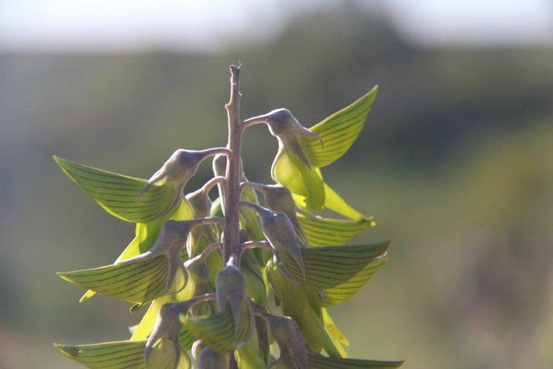 Green Birdflower looks like hummingbirds