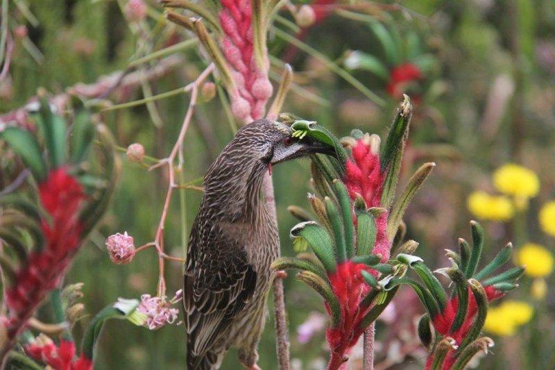 Kangaroo Paw flower depositing pollen on Red Wattle Bird