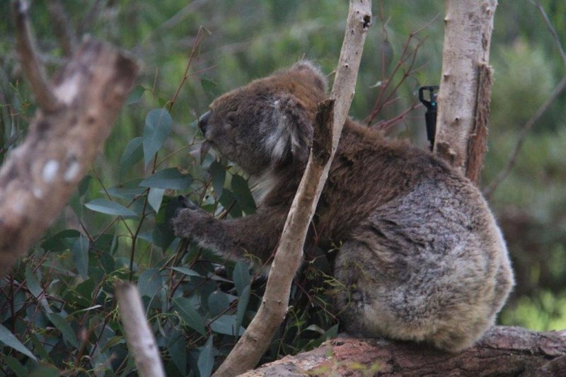 Koalas in Yanchep