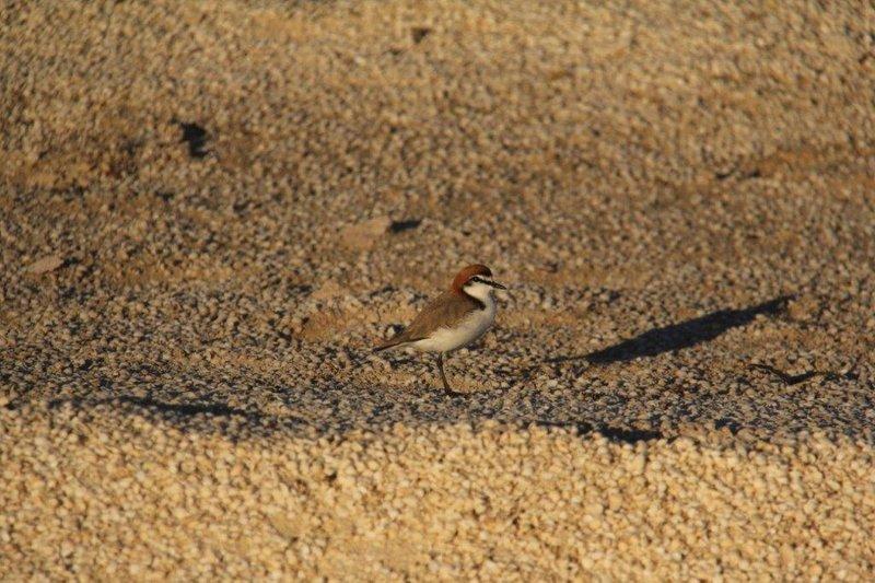 Lesser sand plover on shells 10m deep