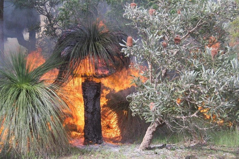 Prescribed burning of grass trees in park
