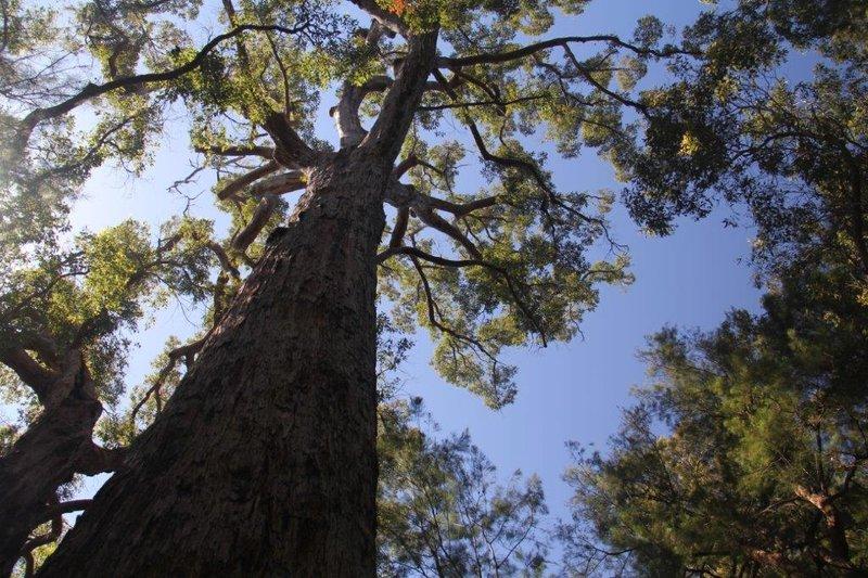 Red Tingle Tree