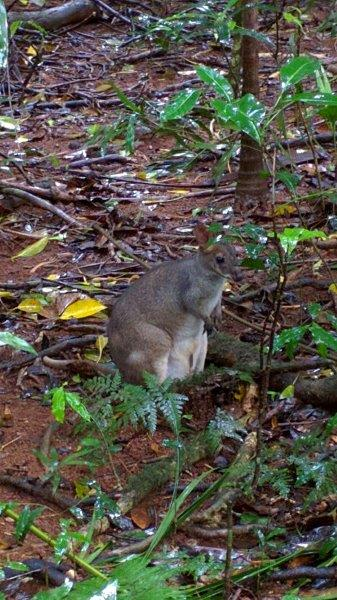 Saw 6 wallabies called Red Legged Pademelons