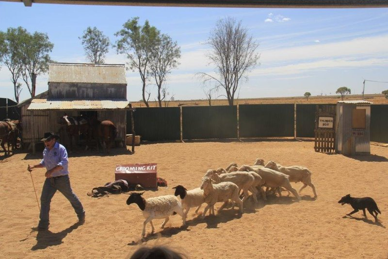 Stockman show rounding up sheep