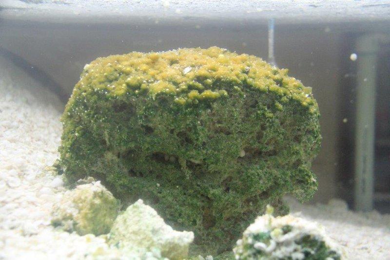 Stromatolite in aquarium still producing oxygen