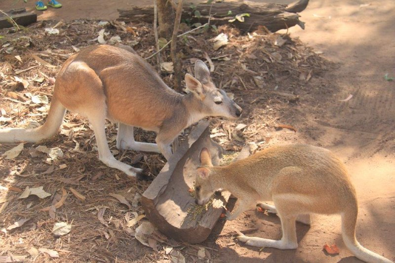 Wallaroo on left Wallaby on right