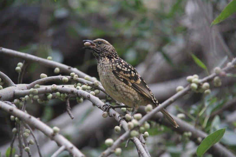 Western Bower Bird eating wild figs