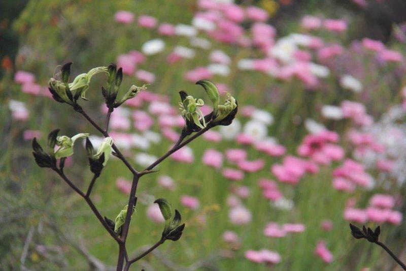 Wild flowers in Kings Park