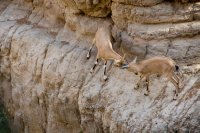Goats playing