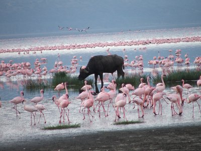 Buffalo and Flamingos