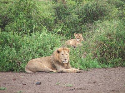 Amboseli Lions 2