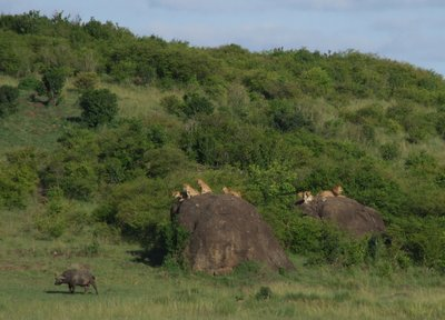 Lion pride and Buffalo on the Masai Mara