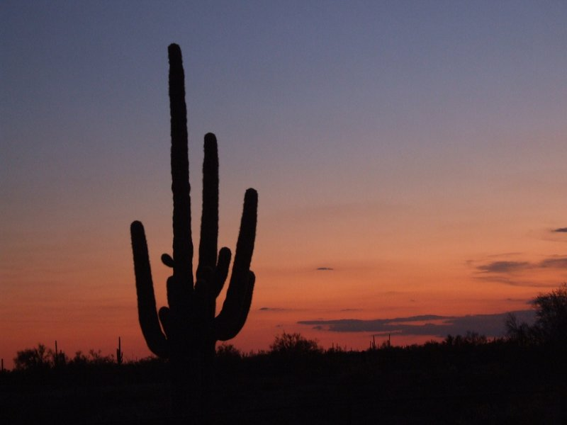 Sonora Desert Saguaro