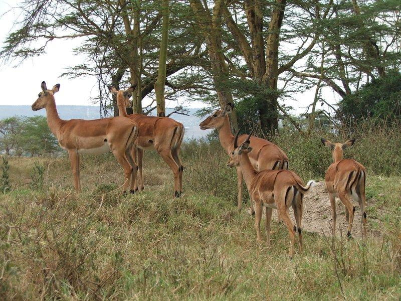 Impala at Nakuru