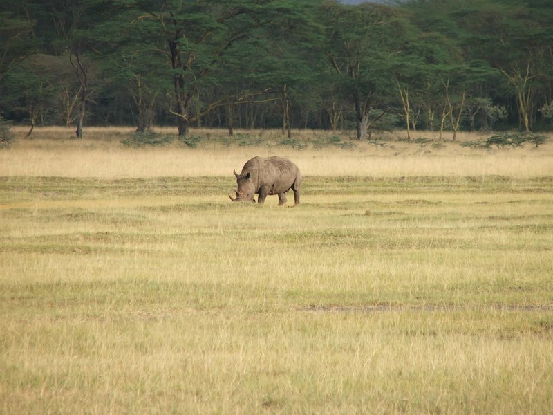 Rhino at Nakuru