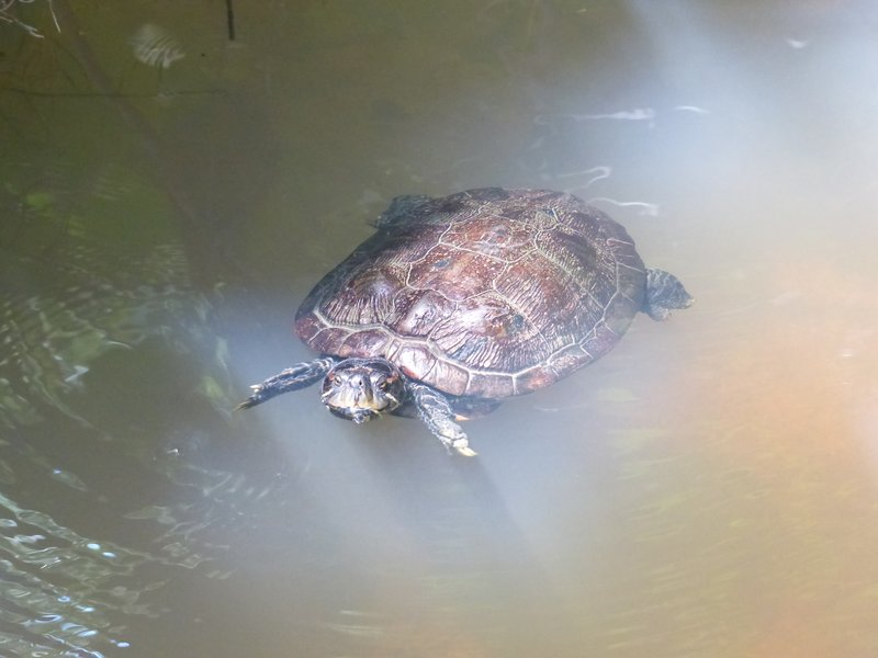 A terrapin we were lucky to see swimming by