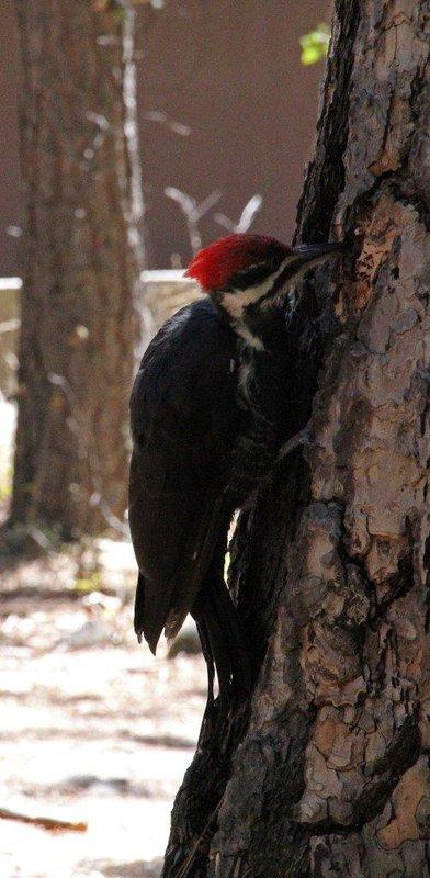 large_yosemite_4.._woodpecker.jpg