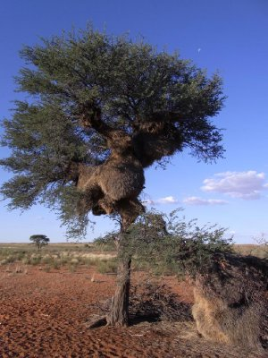 Kalahari - giant bird nests in trees 2013