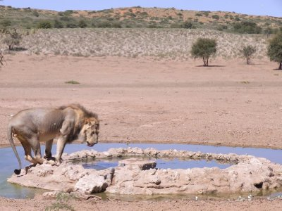 Kalahari - Lion drinking 2013