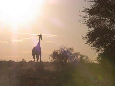 Kalahari - Giraffe at sunrise 2013