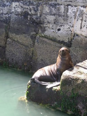 Fish Hoek - Seal at harbour 2013