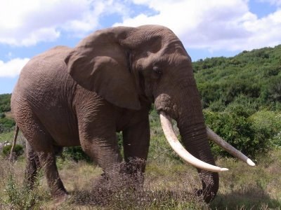 Addo - one Elephant 2013