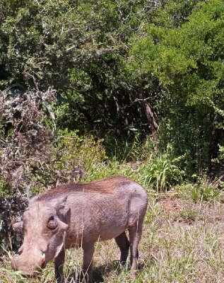 Addo - Warthog 2013