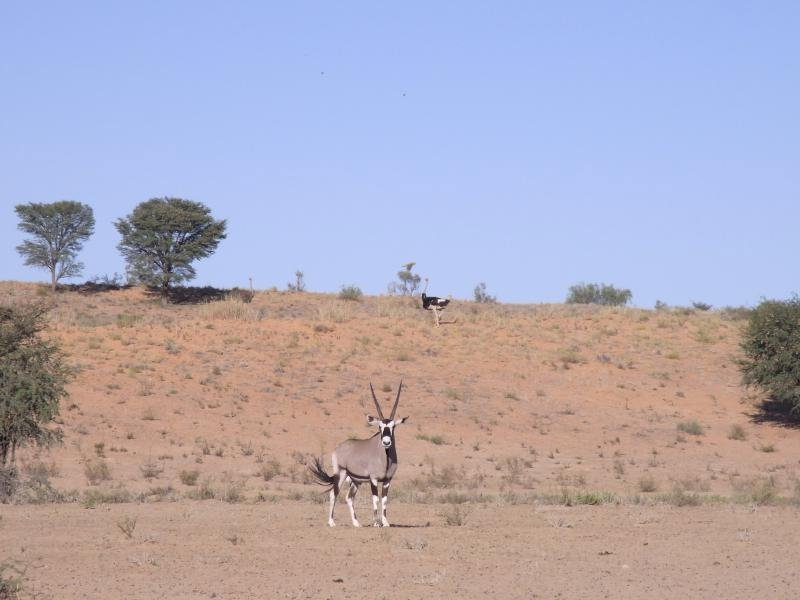 Kalahari - Gemsbok and Ostrich 2013