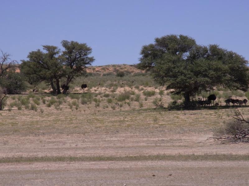 Kalahari - two Ostrich families 2013