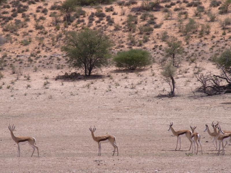 Kalahari - Lions vs. Springbok-Antelopes  2013
