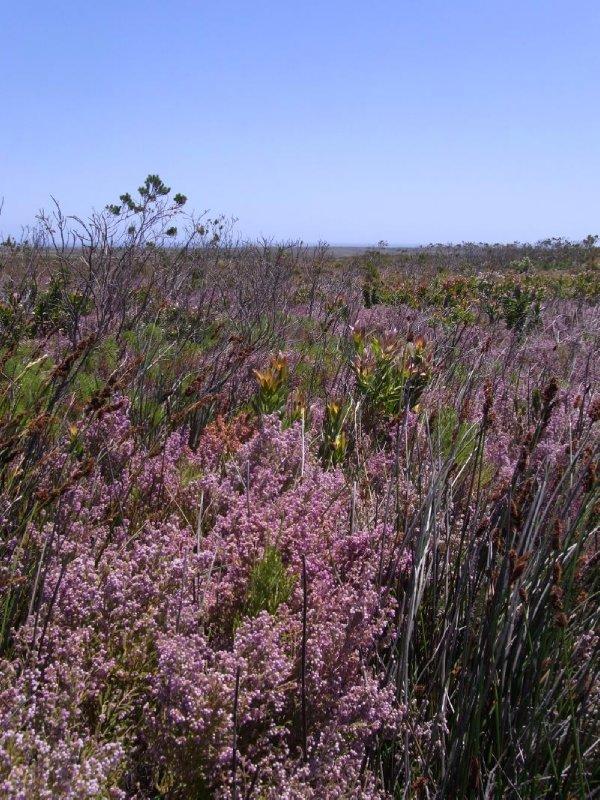 Cape of good hope - wild flowers 2013