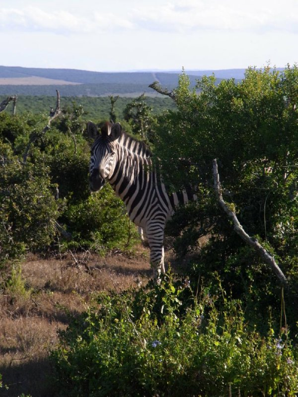 Addo - one Zebra 2013