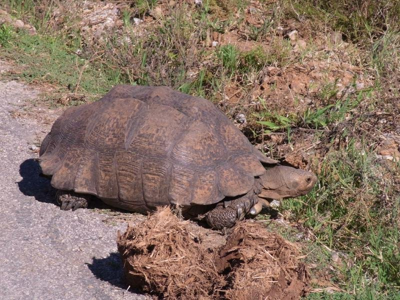 Addo - Leopard Tortoise