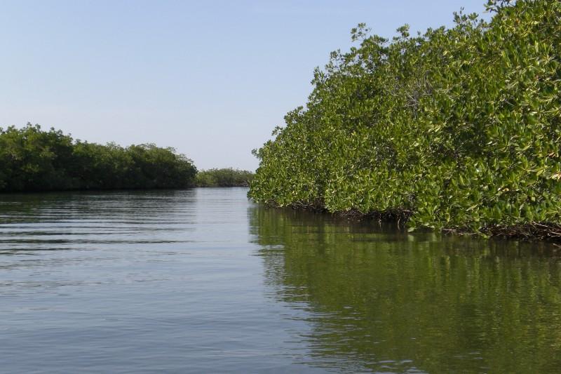 Delta du Saloum - Magrove trees 2009