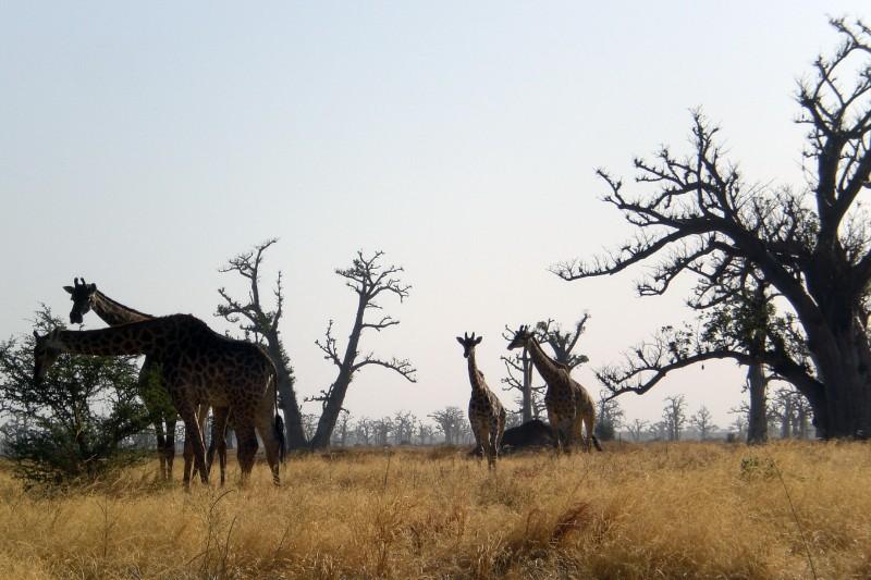 Reserve de Bandia - Giraffes 2009